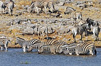 Burchell´s Zebra Equus quagga burchellii herd drinking at waterhole, Etosha National Park, Namibia