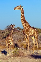 Giraffe giraffa camelopardalis and baby in Etosha National park, Namibia