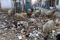 Domestic Pigs, scavenging in waste, Jaipur, India