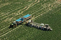 Aerial view of migrant workers harvesting a lettuce crop near Yuma.