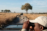 A zebra crosses the road in front of a man using binoculars.