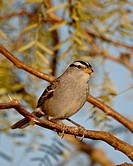 White_crowned sparrow Zonotrichia leucophrys, City of Rocks State Park, New Mexico, United States of America, North America