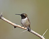 Black_chinned hummingbird Archilochus alexandri, Sweetwater Wetlands, Tucson, Arizona, United States of America, North America