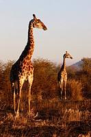 Giraffes, Madikwe game reserve, Madikwe, South Africa, Africa