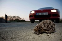 Hedgehog crossing the road, european hedgehog, eri