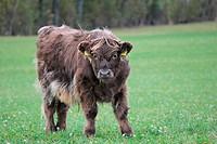 cow Highland