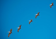 Brown pelicans in flight formation