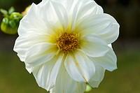 Dahlia flower head