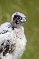 Peregrine Falcon Falco peregrinus three_four week old chick, close_up of head and chest, july captive