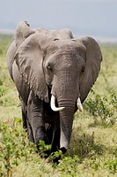 Herd of African Bush Elephant or African Savanna Elephant Loxodonta africana  Amboseli National Park  Kenya  Africa