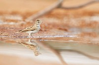 Greater Short_toed Lark Calandrella brachydactyla adult, standing at edge of water, Belchite Plains, Aragon, Spain, september