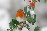 European Robin Erithacus rubecula adult, perched on snow covered European Holly Ilex aquifolium with berries, Washington, West Sussex, England, decemb...
