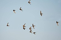 Common Swift Apus apus flock, screaming in flight, Northern Spain, july