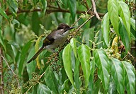 Ashy Bulbul Hemixos flavala adult, perched in fruiting tree, Kaeng Krachan N P , Thailand, november