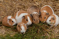 Domestic Guinea Pig Cavia porcellus adults and young, group feeding on grass, standing on straw bedding, Whitewell, Lancashire, England, december