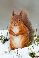 Eurasian Red Squirrel Sciurus vulgaris adult, sitting in snow, Cairngorms N P , Highlands, Scotland, december