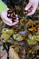 Sweet Chestnut Castanea sativa nuts, being collected from ground, Norfolk, England, november