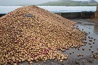 Potato Solanum tuberosum tubers in farmyard, for feeding to beef cattle, Perth, Perthshire, Scotland, november