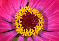 Extreme close_up of a Zinnia flower.