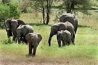 Elephants Loxodonta africana