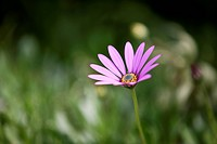 A purple ox_eye daisy, close_up
