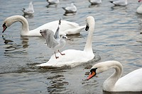 Black_headed Gull landing on Mute Swan, Baden_Wurttemberg, Germany / Larus ridibundus, Cygnus olor