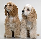 Two American Cocker Spaniel dogs looking away