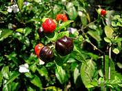 black paprika