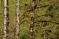 Red alder Alnus rubra with epihytic mosses, Olympic NP Hoh Rainforest, Washington, USA