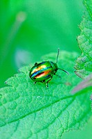 Chrysolina fastuosa, a tiny rainbow-colored leaf beetle  A pin-head sized beetle searches for dinner on a white dead nettle  Very colorful metallic be...