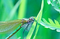 Banded Demoiselle, Calopteryx splendens  Female hidden in the grass  Female is green and male is metallic blue  Upper body