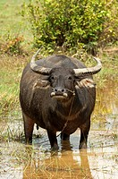 Water buffalo Bubalus arnee grazing on a harvested rice field, Cambodia