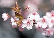 Cherry Plum blossoms Prunus cerasifera ´Krauter Vesuvius´