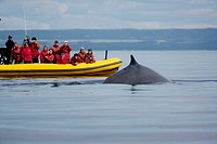 Whale Watching on the St  Lawrence River Quebec