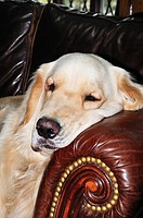 English Golden Retriever laying on couch
