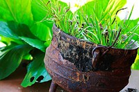 Cast iron cooking pot used as plant container  Called phutu by indigenous tribes and potjie by Afrikaners  South Africa  Hi-key