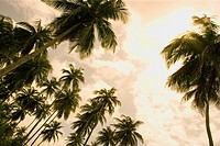Barbados, palm trees, low angle view