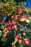 Apple Tree Malus sp , with Ripened Fruits, Lower Saxony, Germany