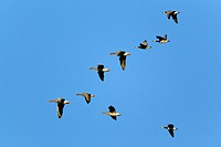 Greylag Goose Anser anser and Canada Goose Branta leucopsis, flying in formation, Sjaelland, Denmark