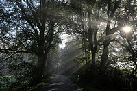 Country Road and Early Morning Sunburst through Trees, Bramwald, Lower Saxony, Germany