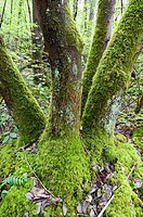 Arbutus Arbutus menziesii tree trunks in Partridge Hills  Saanich, British Columbia, Canada