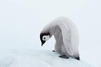 Emperor Penguin Aptenodytes forsteri chick. Snow Hill Island, Antarctic Peninsula, Antarctica.