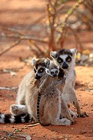 Ring Tailed Lemur, Lemur catta, Berenty Reserve, Madagascar, Africa, two adult females with young