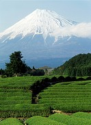 Snow covered Mount Fujiyama above tea fields on Honshu island, Japan                                                                                  ...