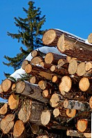 Stacked Logs with Norway Spruce Tree and Blue Sky