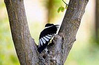 Magpie Pica pica, europe, black and white plumage with long tail, inhabits plains with groves and scrub
