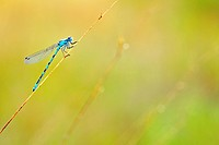 Common Blue Damselfly / Northern Bluet Enallagma cyathigerum on stem, the Netherlands