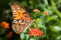 The Gulf Fritillary butterfly, also known as the Passion Butterfly Agraulis vanillae