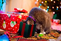 A gray tabby cat checks out a catnip filled gift on Christmas morning