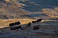 Musk ox herd, Dovrefjell plateau, Norway